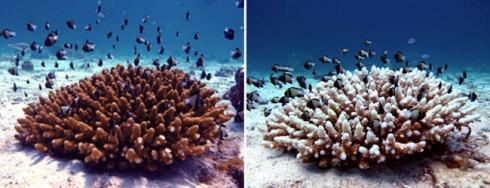 coral-bleaching-ko-haa-490x188
